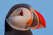An Atlantic Puffin (Fratercula arctica) looks out from its perch atop the Látrabjarg, Iceland, bird cliff. Atlantic Puffins are known for their colorful bills, which are especially colorful during the breeding season. About 60 percent of all Atlantic Puffins nest in Iceland.