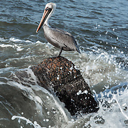 Pelican on top of rock in Port Aransas, Texas