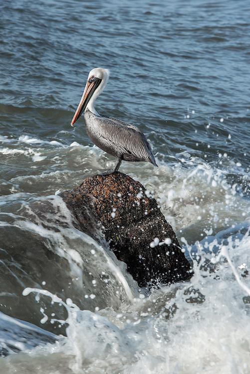 Pelican on top of rock in Port Aransas, Texas