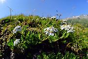 Achillea (Achillea moschata Syn.: Achillea erba-rotta ssp. moschata) High Tauern National Park (Nationalpark Hohe Tauern), Central Eastern Alps, Austria | Moschus-Schafgarbe (Achillea moschata Syn.: Achillea erba-rotta ssp. moschata) Nationalpark Hohe Tauern, Osttirol in Österreich