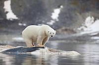 Polar bear (Ursus maritimus) feeding on dead whale, Svalbard, Norway