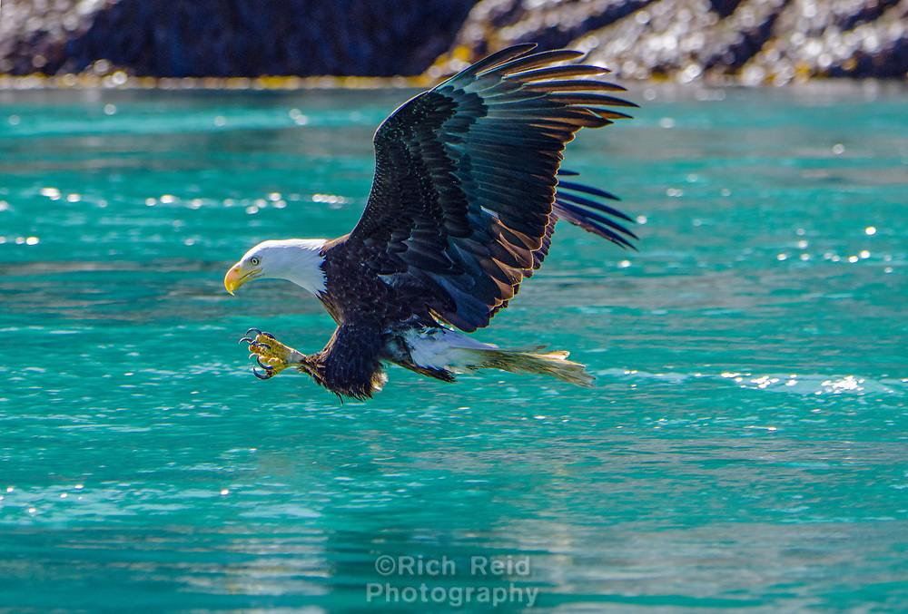 Bald Eagle catching a fish at the Inian Islands and Cross Sound in Southeast Alaska.