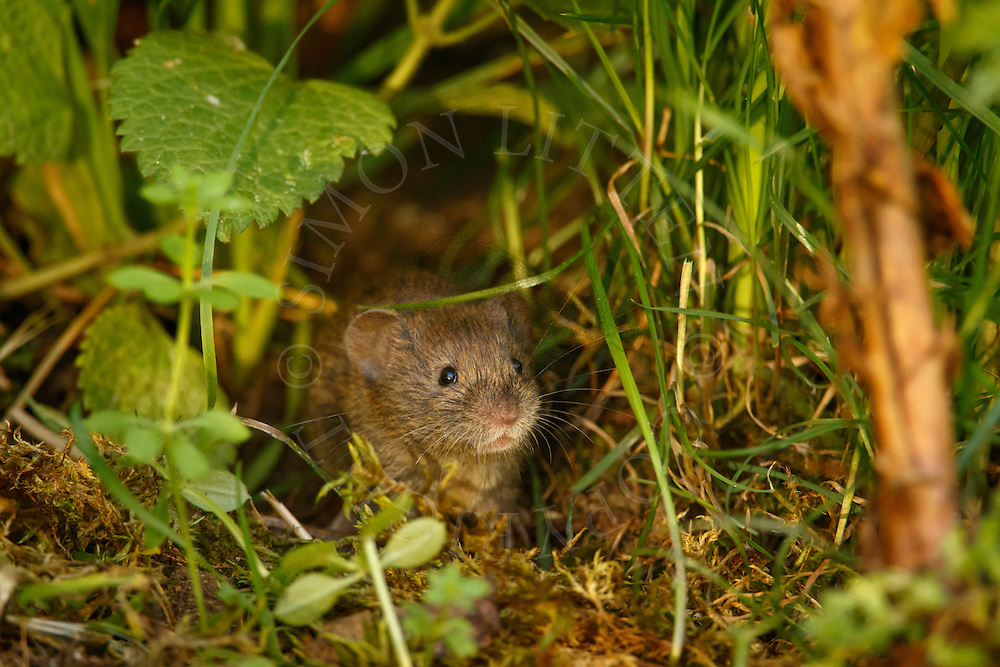 Bank Vole (Clethrionomys glareolus) adult in undergrowth, South Norfolk, UK. September.