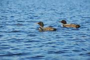 Common loon (Gavia immer) on Killarney Lake<br />Killarney Provincial Park<br />Ontario<br />Canada