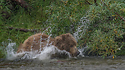 A mother bear jumps in the water to catch a salmon - Katmai, Alaska
