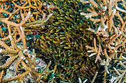 Golden Sweeper (Parapriacanthus ransonneti) hiding in staghorn coral<br /> Raja Ampat<br /> West Papua<br /> Indonesia