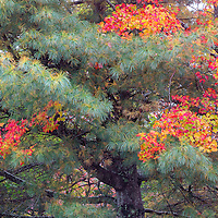 An evergreen pine and a maple tree team up to provide a beautiful match of color. Acadia National Park, Maine
