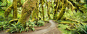 Hall of Mosses Trail, Hoh Rain Forest in Olympic National Park, Washington