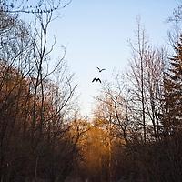 Mallard ducks coming in for a landing in the Cedarvale Ravine in Toronto