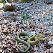 Senticolis triaspis, Green Ratsnake, Rancho el Pinito, Sierra San Luis, Sonora, Mexico