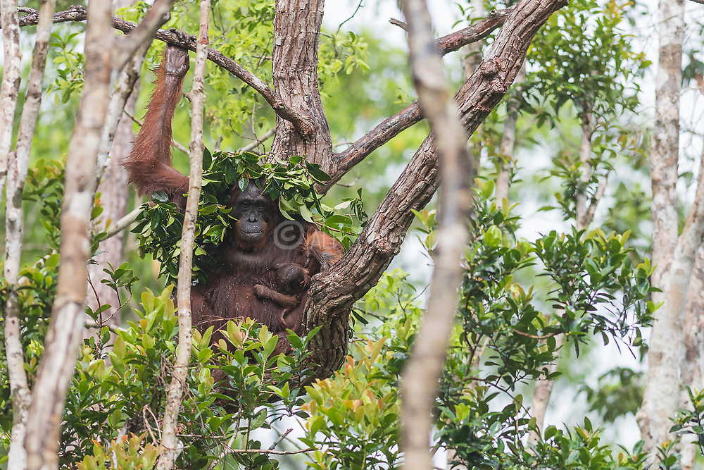 Borneo Orangutan (Pongo pygmaeus wurmbi) and it's tiny infant take shelter from heavy rain in Tanjung Puting National Park, Kalimantan, Indonesia