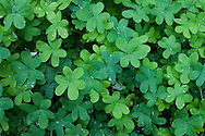 A clover field pops with green