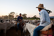 Cowboys on horseback separate cattle by age and sex in the Bollivian Amazon. The cattle are separated before being transported to different pastures.