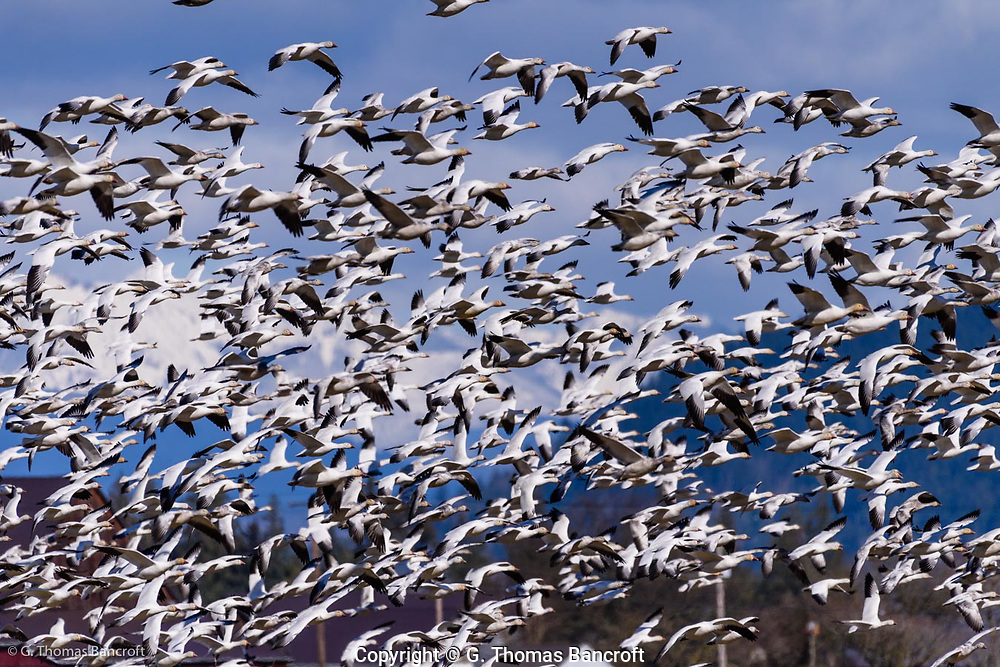 A large flock of snow geese take off in unison and fly a loop around Hayton Reserve in Skagit County.