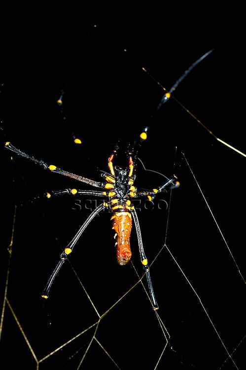 Large female spider on web, Maliau Basin, Sabah, Borneo, East Malaysia.