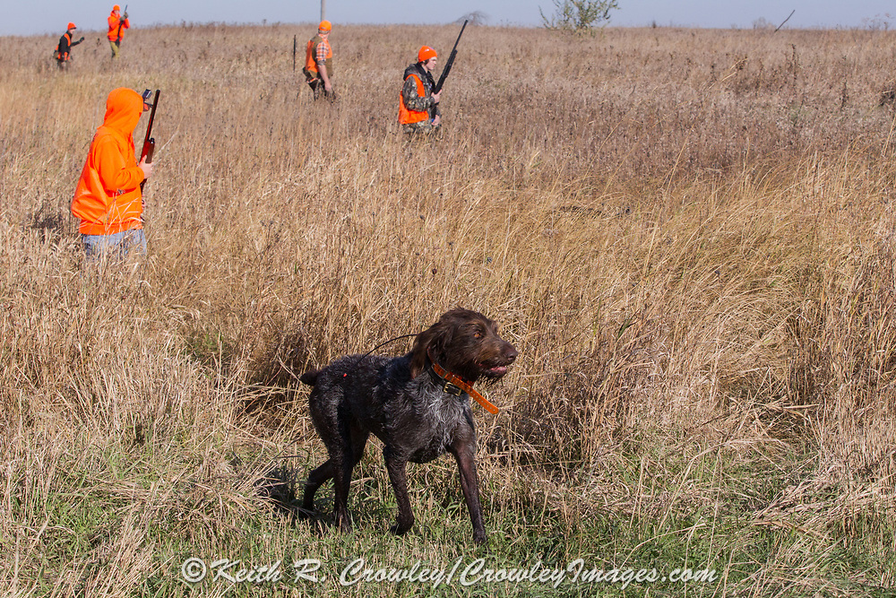 A Deutsch Drahthaar wearing a GPS tracking collar hunts pheasants with a group of youth hunters in southern Minnesota