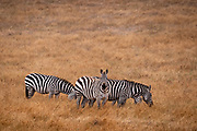 A group of  zebras grazing in a golden grassland  in California one looking forward with grass in it's mouth.