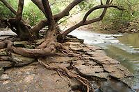 ARROYO EL PALMAR Y TRONCOS DE MATAOJOS (Pouteria salicifolia), PARQUE NACIONAL EL PALMAR, PROV. DE ENTRE RIOS, ARGENTINA