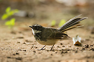 A white-spotted fantail spreads its tail feathers and dances around on the open ground in the shadow of a tree, Ranganathittu Bird Sanctuary, India