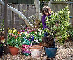 Potting up a pot bound shrub in spring -  pittosporum