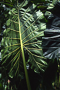 Giant taro leaf<br />