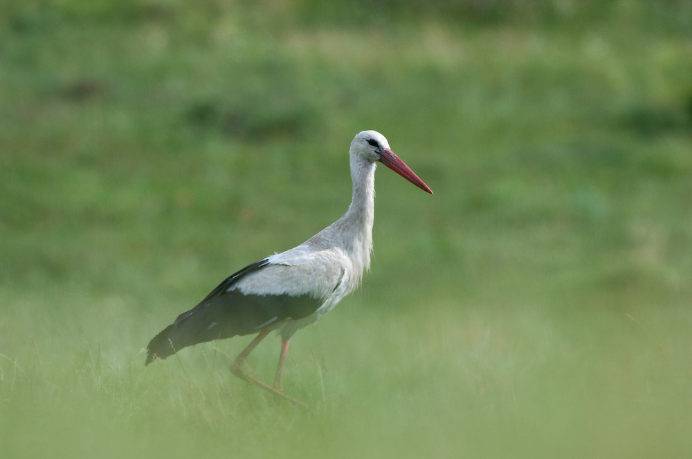 White stork {Ciconia ciconia} in Balti region, central Moldova