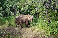 Juvenile Grizzly Bear hunting for Salmon..shot on the Kanektok River, Alaska, USA..
