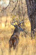 Whitetail buck in wooded habitat.
