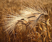 Israel, Negev, close up of a wheat stalk and grain