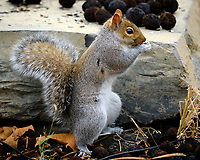 Grey Squirrel. Image taken with a Fuji X-H1 camera and 200 mm f/2 lens + 1.4x TC