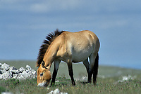 Breeding herd of Przewalski horses in Cervennes region of France to ship back to Mongolia   Photo: Peter Llewellyn