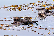 Sea Otters floating in the ocean.