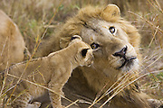 Lion<br /> Panthera leo<br /> 6-7  week old cub(s) playing with adult male<br /> Masai Mara Reserve, Kenya