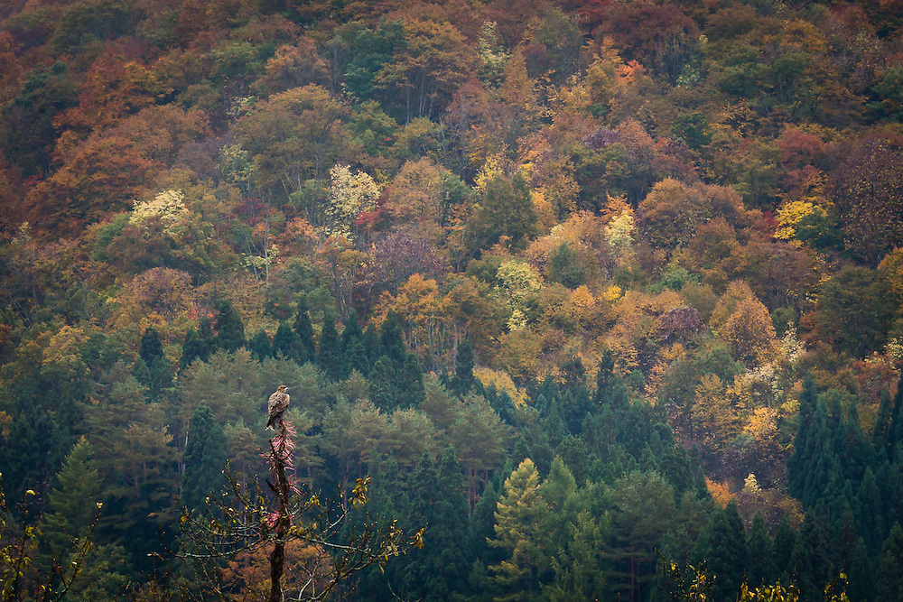A black kite (Milvus Migrans) perches in a treetop, and scouts the surrounding autumn woods for food.