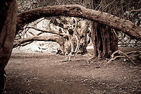 Ancient Yew Grove at Kingley Vale, England