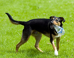 Young playful Black and Tan juvenile mongrel dog plays with a discarded plastic bottle found in the park attention caught by flying insect<br />