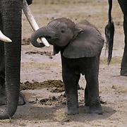 African Elephant, (Loxodonta africana)  Baby holding adult's trunk. Kenya. Africa.