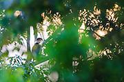 Red-shanked Douc Langur (Pygatrhix nemaeus) on habitat. Vietnam.