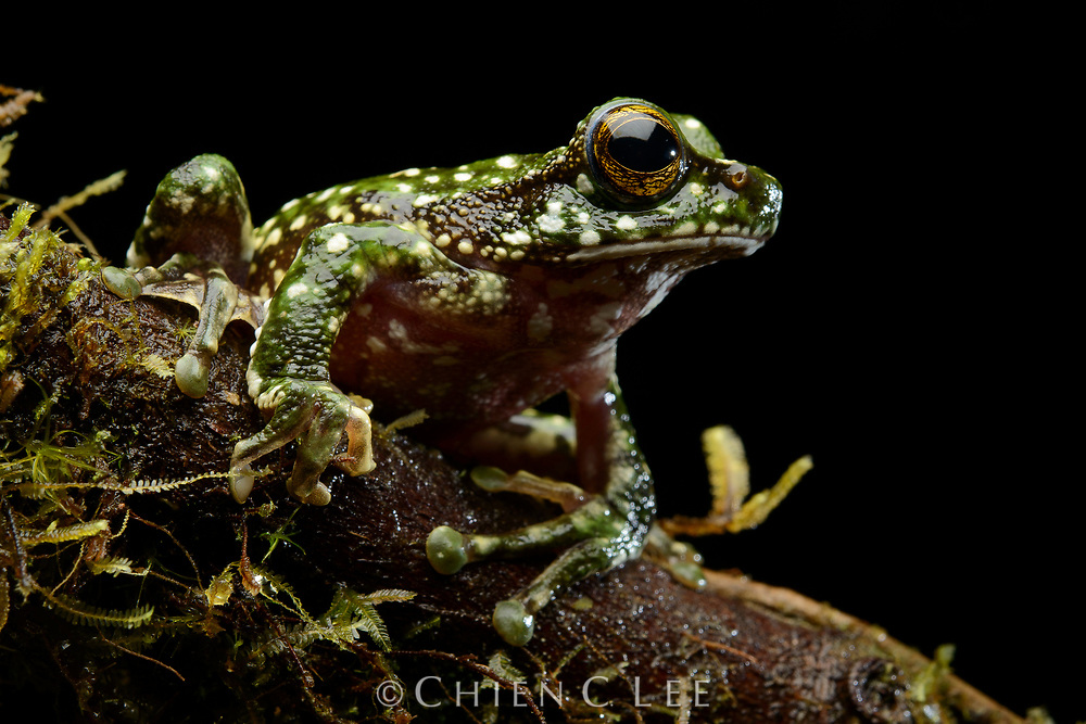 With over 320 described species and probably as many more yet awaiting discovery, New Guinea hosts a staggering diversity of frogs. This unidentified tree frog (Litoria sp.) was photographed in the moss forest of a remote mountain in the northern Jayawijaya Range. Papua, Indonesia.