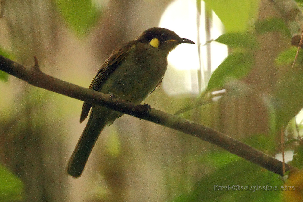 Puff-backed Honeyeater, Meliphaga aruensis, Papua New Guinea, by Markus Lilje