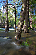A raging Merced River floods its banks from Spring snow melt beneath El Capitan in  Yosemite National Park, California