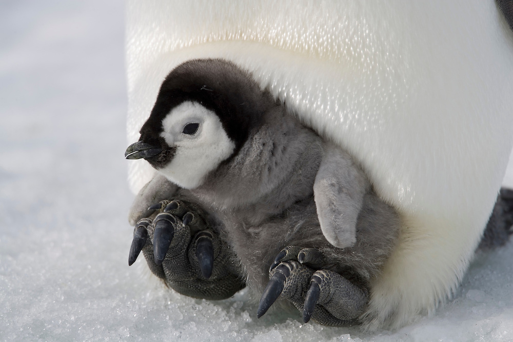 Antarctica, Snow Hill Island, Emperor Penguin chick (Aptenodytes forsteri) riding on mother's feet on frozen sea ice on sunny afternoon
