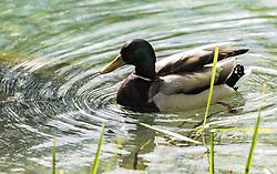 THEMENBILD - eine männliche Stockente, genannt Erpel (Anas platyrhynchos), schwimmt in einem See, aufgenommen am 21. Mai 2019, Lienz, Österreich // a male mallard, called drake (Anas platyrhynchos), swims in a lake on 2019/05/21, Lienz, Austria. EXPA Pictures © 2019, PhotoCredit: EXPA/ Stefanie Oberhauser