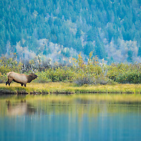 bugling bull elk river edge fall colors