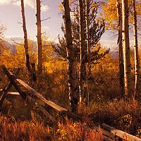 Split-rail fence in aspen grove, Antelope Flats, Wyoming