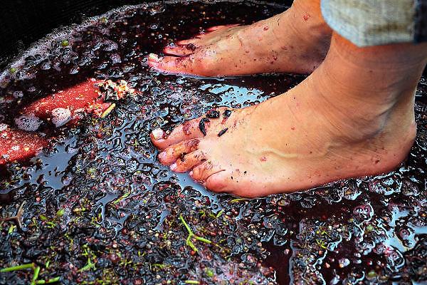Nederland, Groesbeek, 28-9-2008In groesbeek worden de nationale wijnfeesten gehouden. Onderdeel hiervan was het druivenkneuzen, het met blote voeten stampen van de druiven. Groesbeek wil een voortrekkersrol spelen in de nederlandse wijncultuur omdat het diverse wijngaarden huisvest. In groesbeek national wine festivals are held. Part of this was the grape grinding, with bare feet stamping of the grapes. Groesbeek wants a leading role in the Dutch wine culture because it houses various vineyards. À Groesbeek vin festivals nationaux sont organisés. Une partie de ce raisin a été le meulage, pieds nus estampillage des raisins. Groesbeek veut un rôle de premier plan dans la culture du vin hollandais car il abrite différents vignobles.Foto: Flip Franssen/Hollandse Hoogte