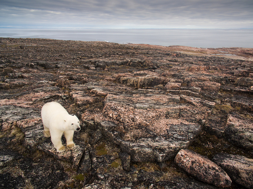 Canada, Nunavut Territory, Repulse Bay, Aerial view of Polar Bear (Ursus maritimus) walking through rocky hills along Hudson Bay near Arctic Circle