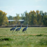 A trio of Sandhill cranes looking for fun, adventure and food...or maybe just food.