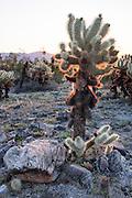 Cholla Cactus inside Joshua Tree National Park
