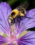 Close up of a male bumble-bee mimic (Volucella bombylans var. plumosa) feeding on a mauve geranium flower in a Norfolk garden